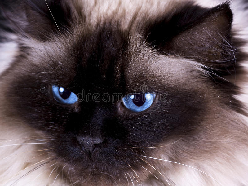 Rag Doll Cat Stock Image