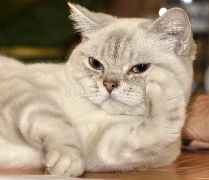 RagaMuffin породы кота стоковое фото rf