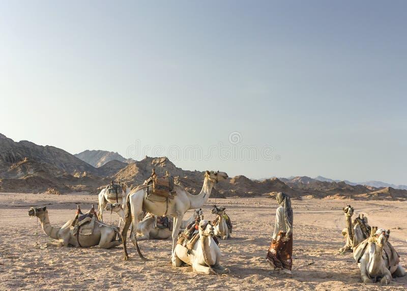 Ragazza beduina con i suoi cammelli immagini stock