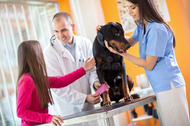 Ragazza con il suo cane fatto grande dell'animale domestico che benda la sua gamba in veterinario immagine stock