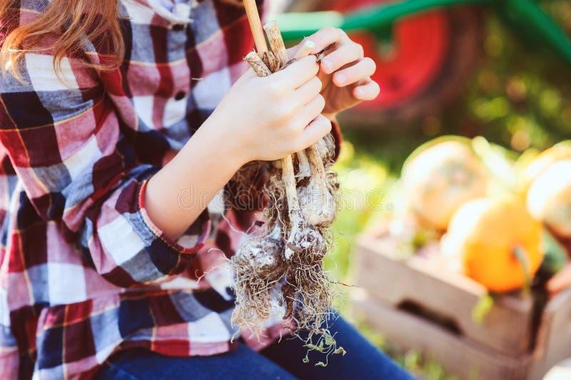 Ragazza del bambino dell'agricoltore che seleziona l'aglio domestico fresco di crescita dal proprio giardino immagine stock