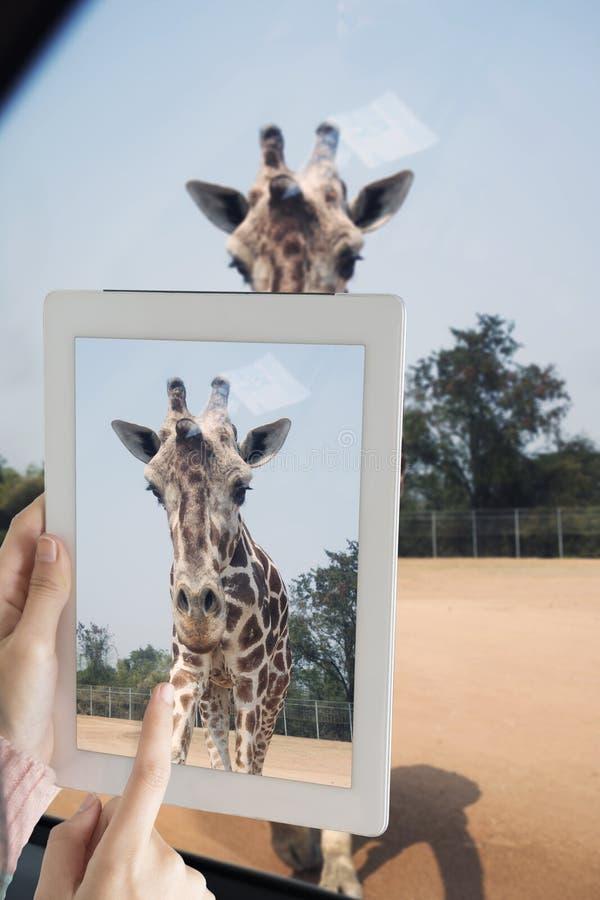Ragazza turistica che prende la foto della giraffa dall'automobile dalla compressa del computer fotografia stock