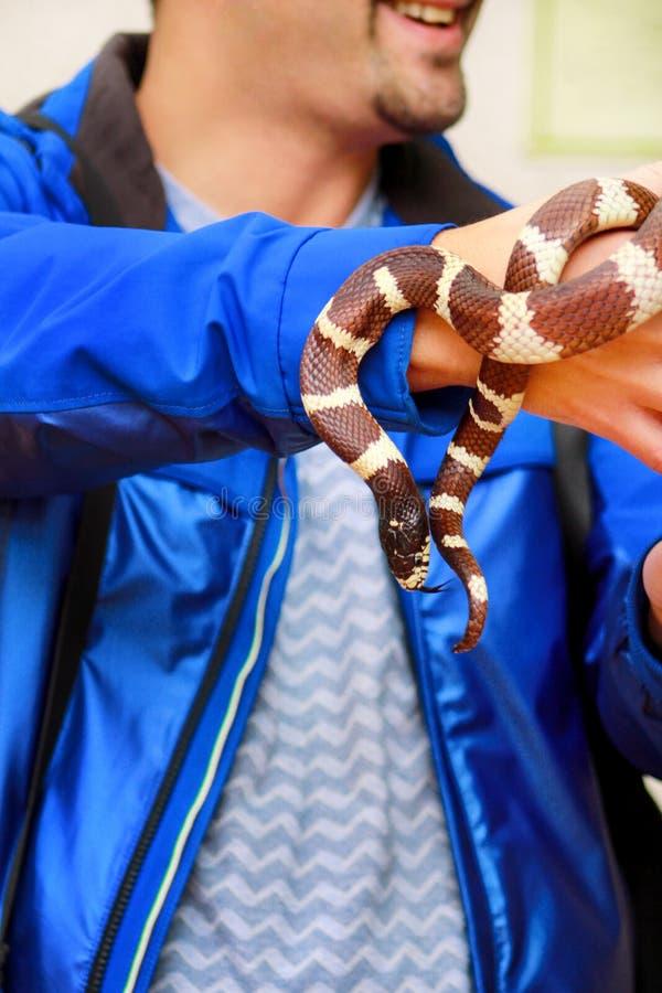 Ragazzo con i serpenti L'uomo tiene nel genere comune di getula del Lampropeltis del serpente di re del rettile delle mani di ser immagini stock libere da diritti