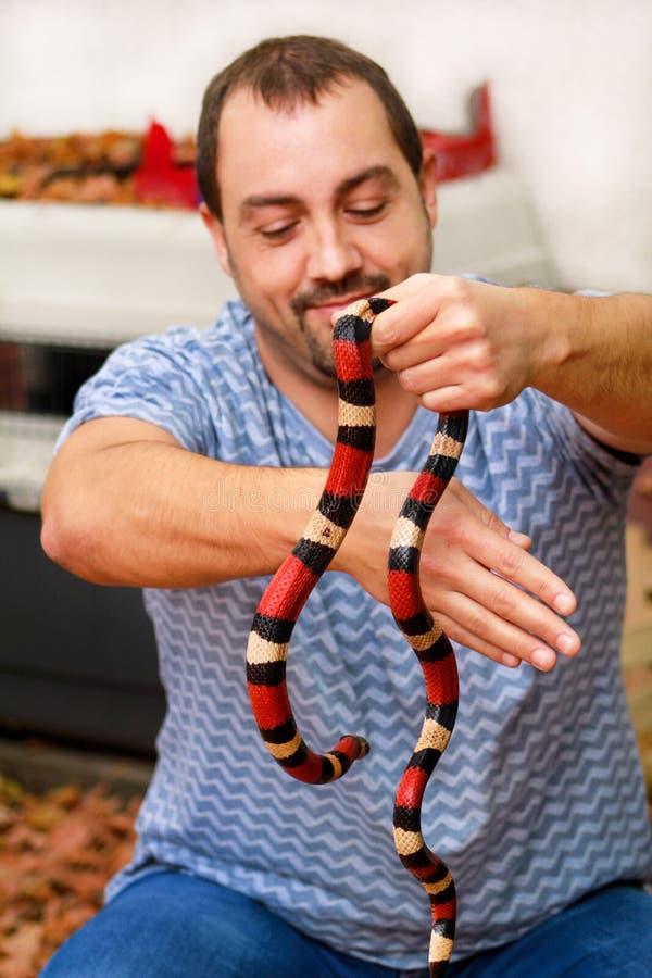 Ragazzo con i serpenti L'uomo tiene nel genere dell'Arizona di triangulum del Lampropeltis del serpente di latte del rettile dell immagine stock