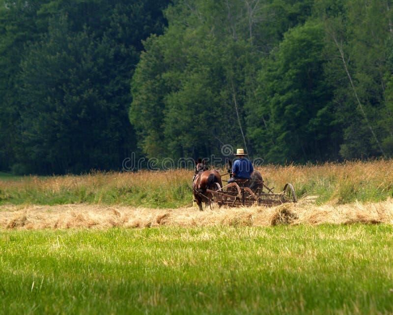Ragazzo dei Amish che rivolta il fieno campo immagini stock