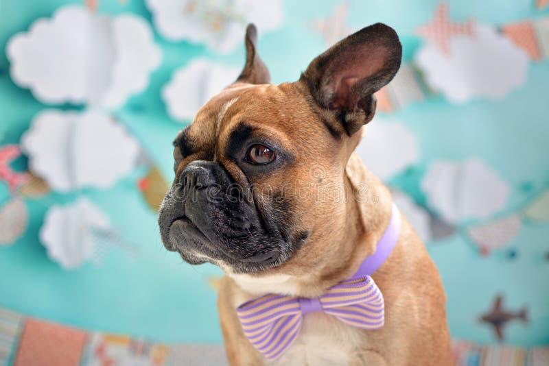 Ragazzo del cane di Fawn French Bulldog con una cravatta a farfalla porpora intorno al suo collo davanti al fondo del blu di bamb immagini stock libere da diritti