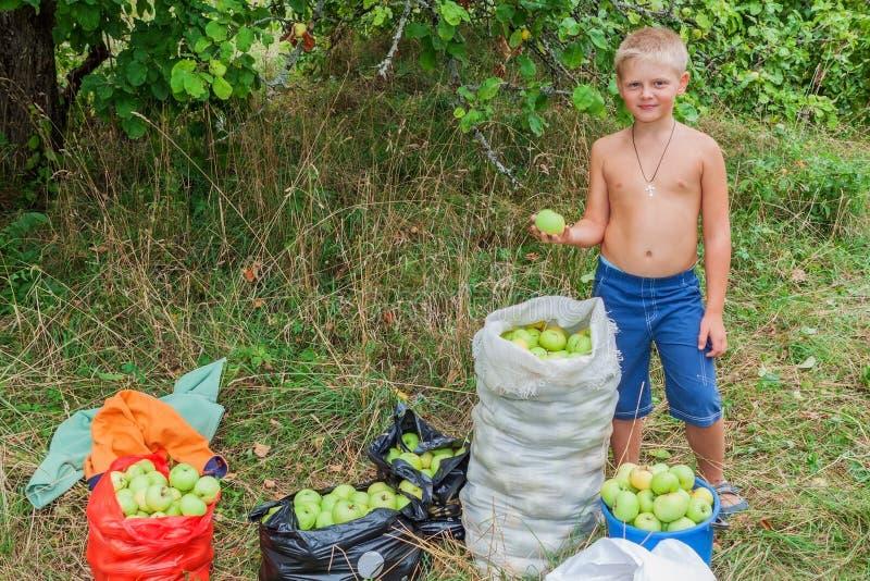 Ragazzo durante la raccolta delle mele In giardino immagine stock libera da diritti