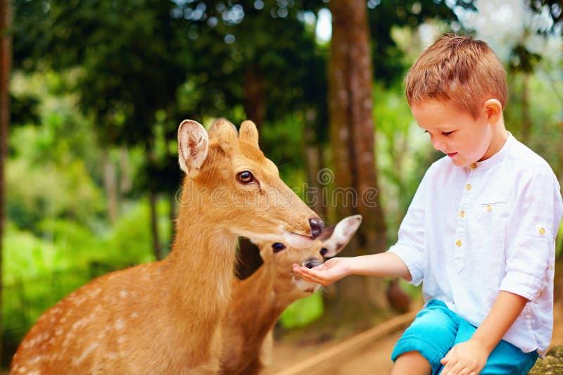 Ragazzo sveglio che alimenta i giovani cervi dalle mani fotografie stock libere da diritti