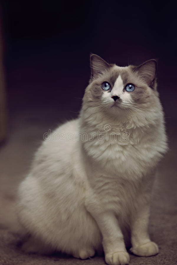 Ragdoll猫摆在 免版税库存照片