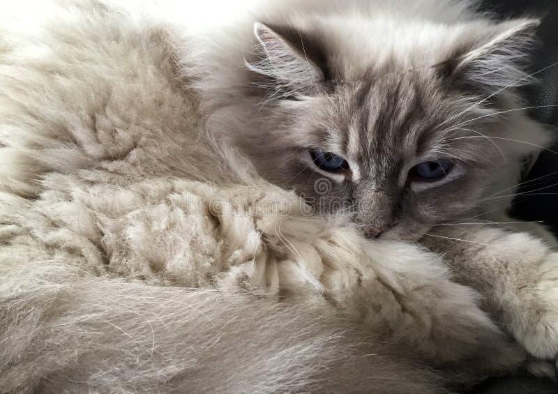 Ragdoll猫画象 免版税库存图片