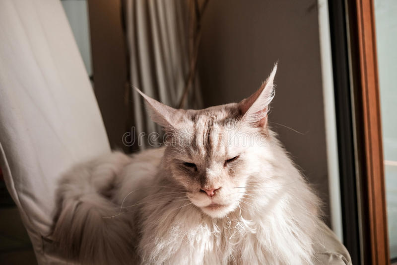 Ragdoll猫 库存照片