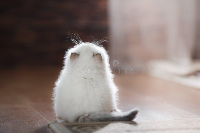 Ragdoll blue point kitten. Ragdoll blue point little kitten on a colored background studio royalty free stock image