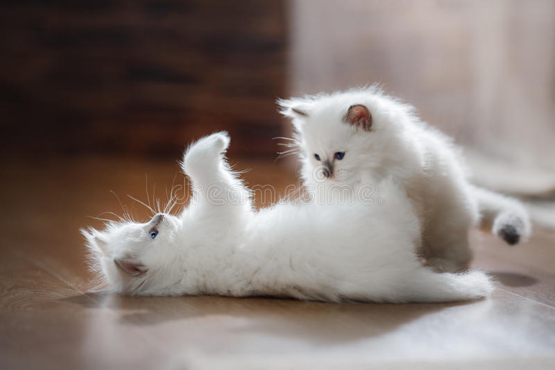 Ragdoll blue point two little kittens royalty free stock image