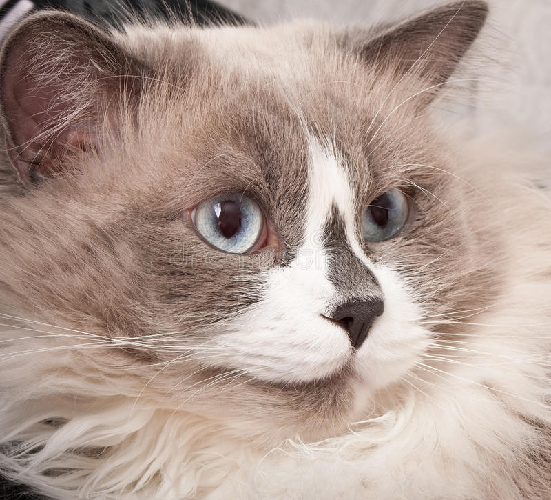 Ragdoll cat stock image