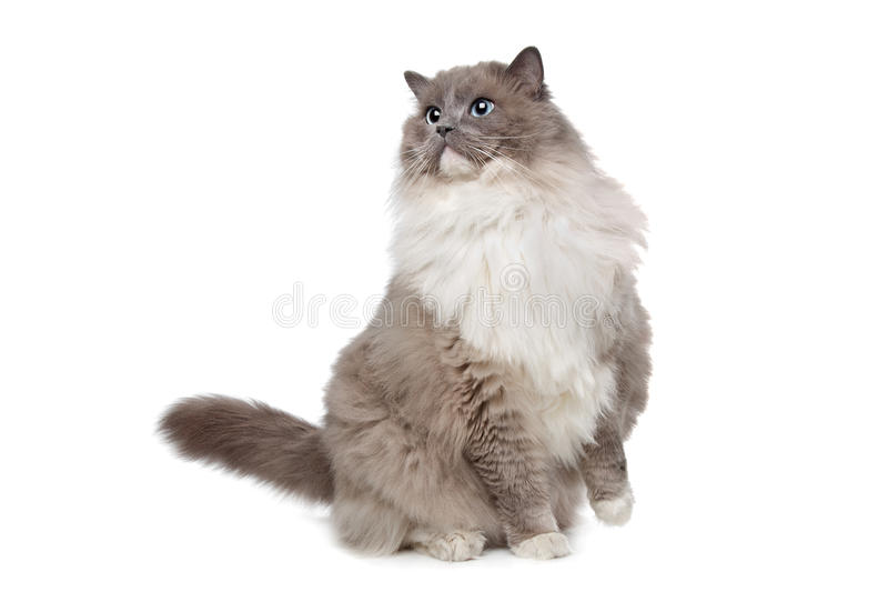 Ragdoll cat. In front of a white background royalty free stock photography