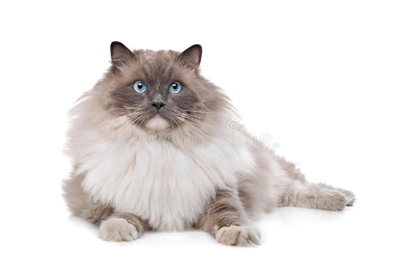 Ragdoll cat. In front of a white background