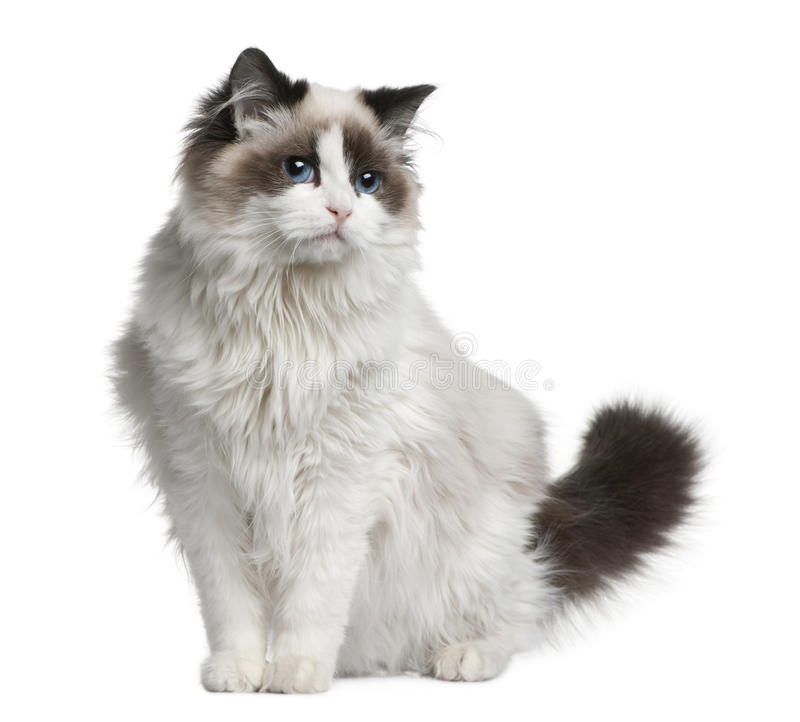 Free Ragdoll Cat, 7 Months Old Stock Image - 13667761