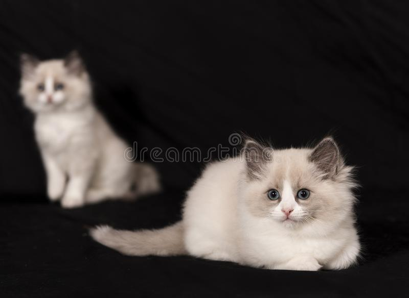 The Ragdoll cat royalty free stock images
