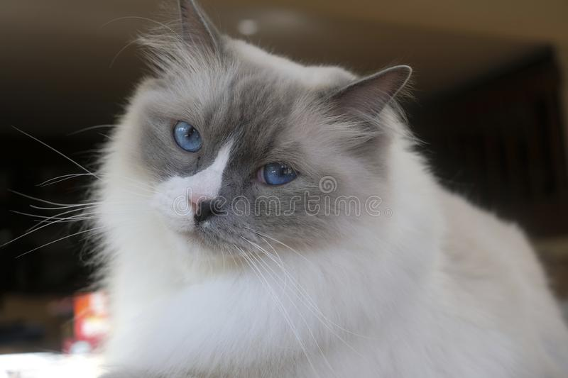 Ragdoll Cat with blue eyes royalty free stock photography