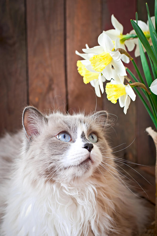 Ragdoll cat breed and a vase of narcissus stock photo