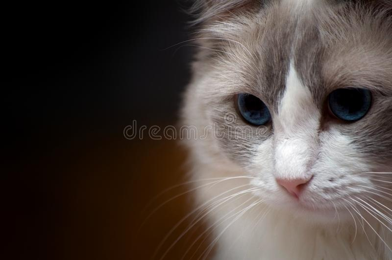 Ragdoll Cat close up head shot portrait, darker background royalty free stock photography