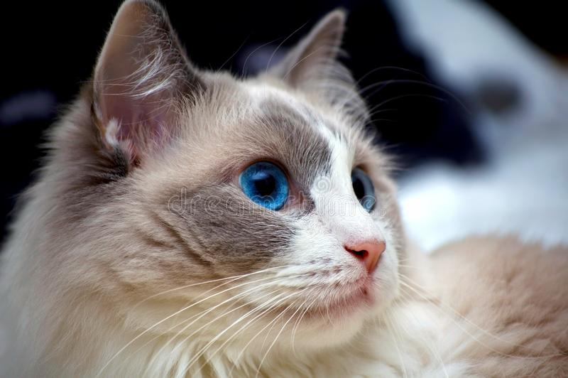 Ragdoll Cat close up looking to the side royalty free stock photos