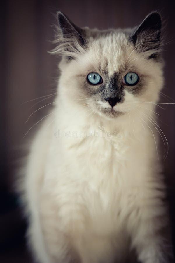 Ragdoll cat close-up stock photo