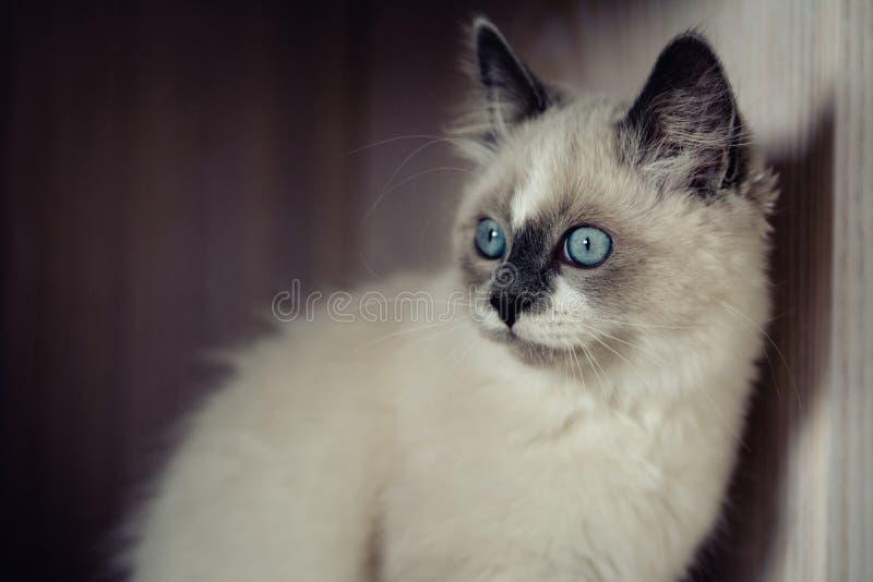 Ragdoll cat close-up stock image