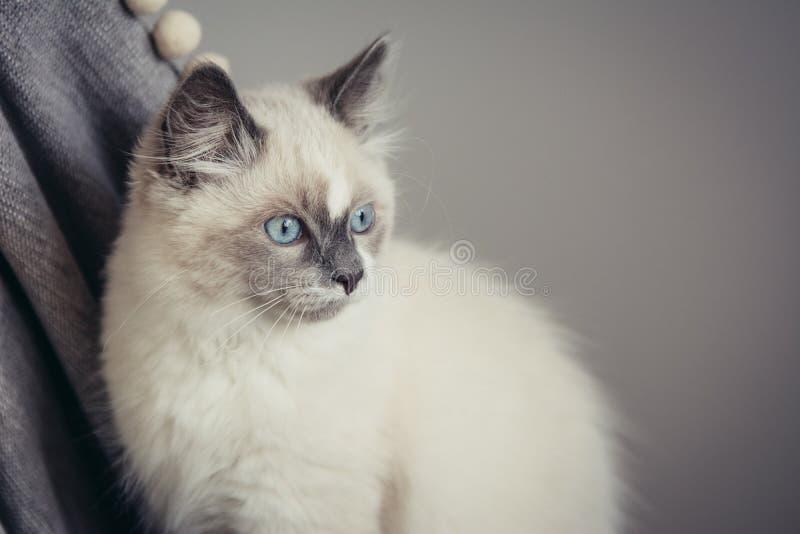 Ragdoll cat close-up stock images