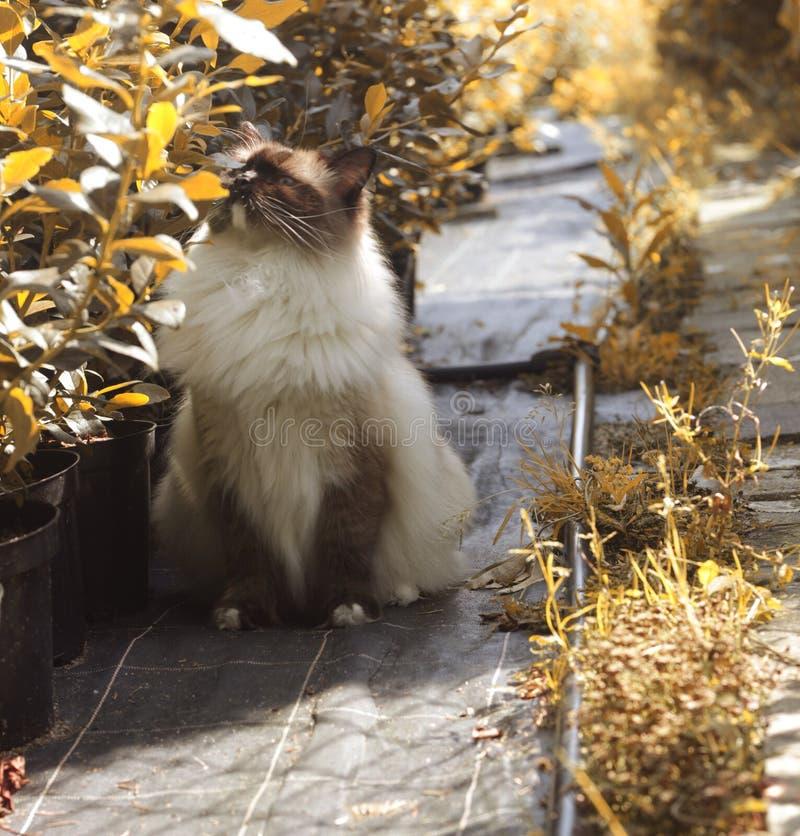 Ragdoll cat enjoying sunlight outdoors royalty free stock image