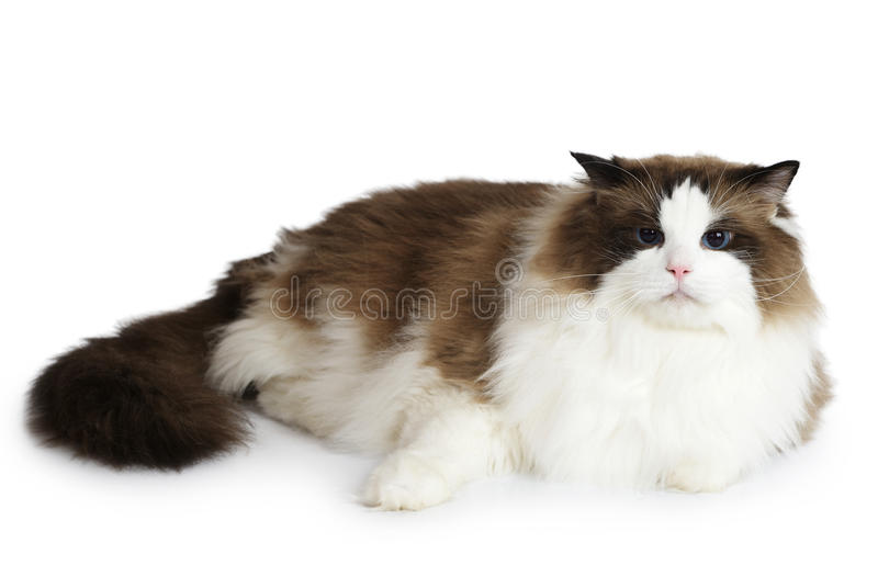 Ragdoll cat in front of a white background. Ragdoll cat sitting in front of white background stock image