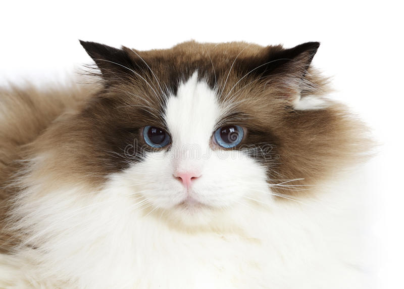 Ragdoll cat in front of a white background. Ragdoll cat sitting in front of white background royalty free stock photos