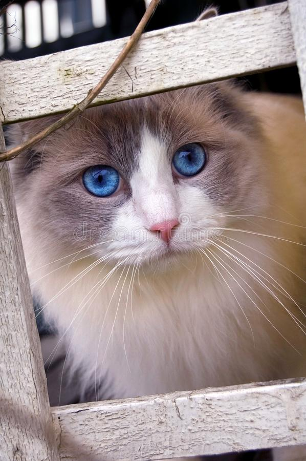 Ragdoll Cat looking into the camera stock photography
