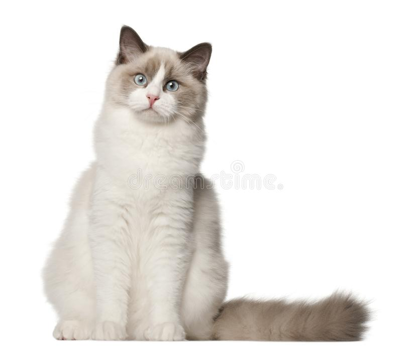 Ragdoll cat, 6 months old. Sitting in front of white background stock image