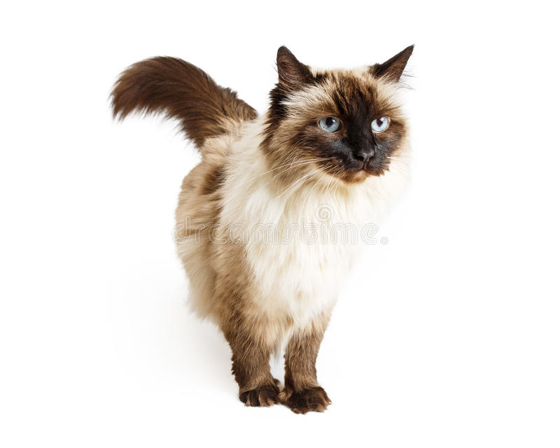 Ragdoll Cat Over White. Ragdoll mixed breed cat standing over white background with unhappy expression royalty free stock photo