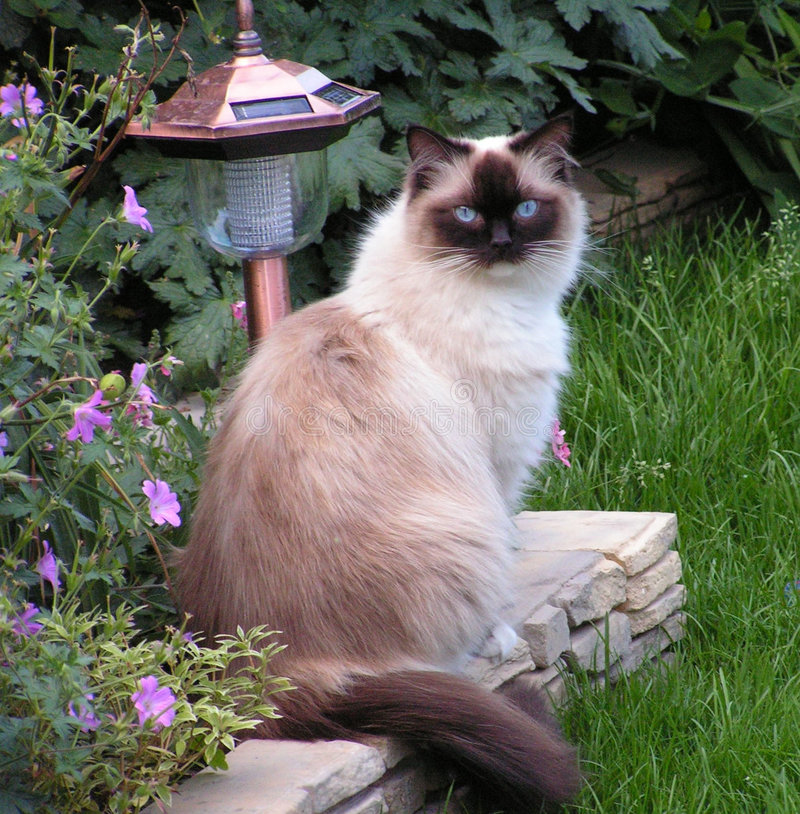 Ragdoll Cat - Pops. Ragdoll cat sitting in the garden stock photo