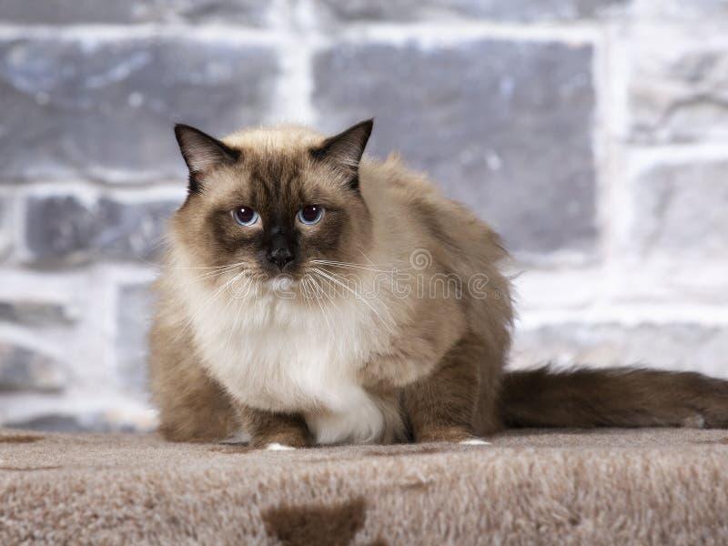 Ragdoll Cat Portrait arkivbilder