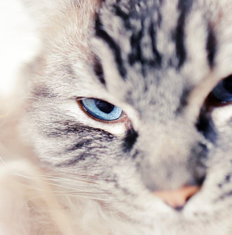 Ragdoll Cat Portrait fotografia stock