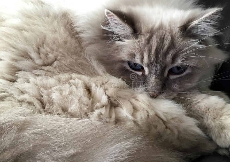 Ragdoll Cat Portrait imagem de stock royalty free