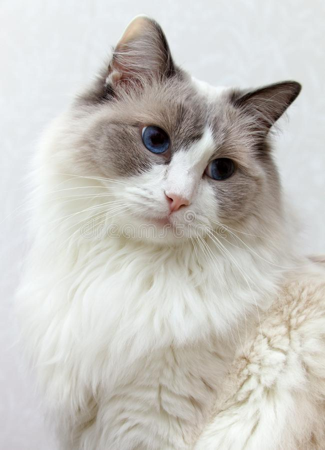 Ragdoll Cat portrait with a bright background royalty free stock image