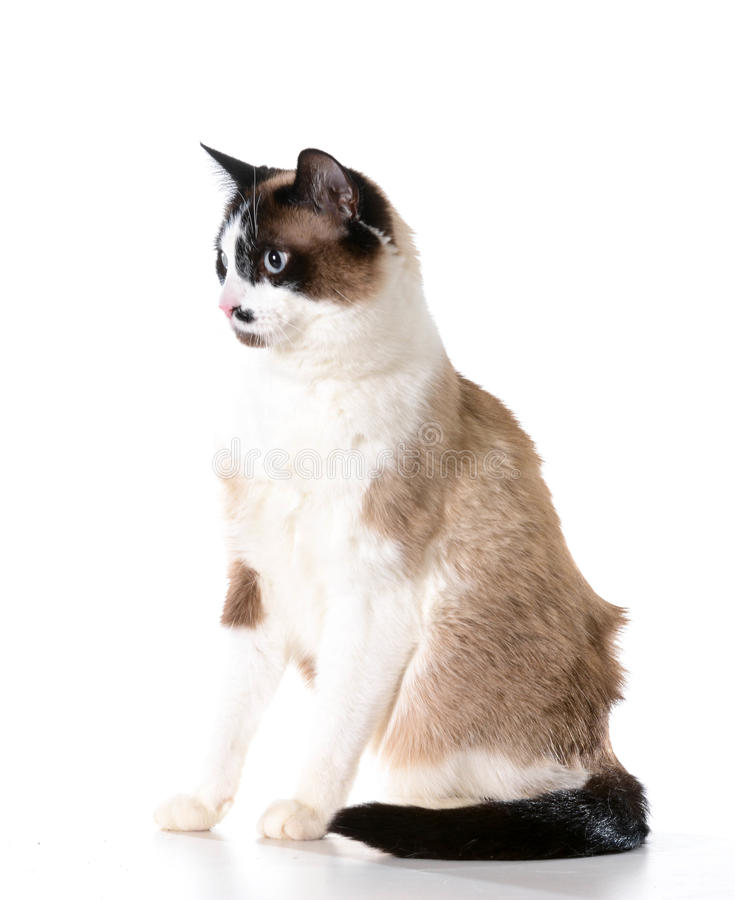 Ragdoll cat. Sitting isolated on white background stock photos