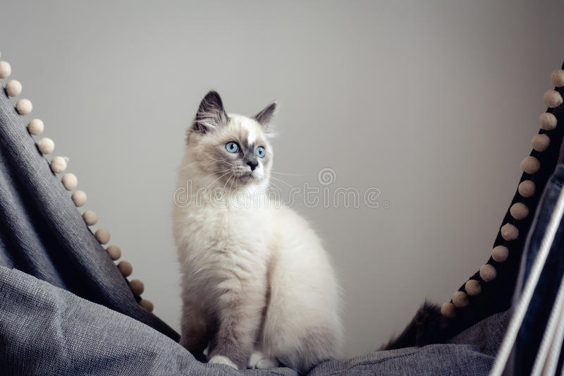 Ragdoll cat sitting. Lovely ragdoll cat with blue eyes sitting on a grey rocking chair and looking out of the window. Cat with light coat, bright blue eyes and stock photo