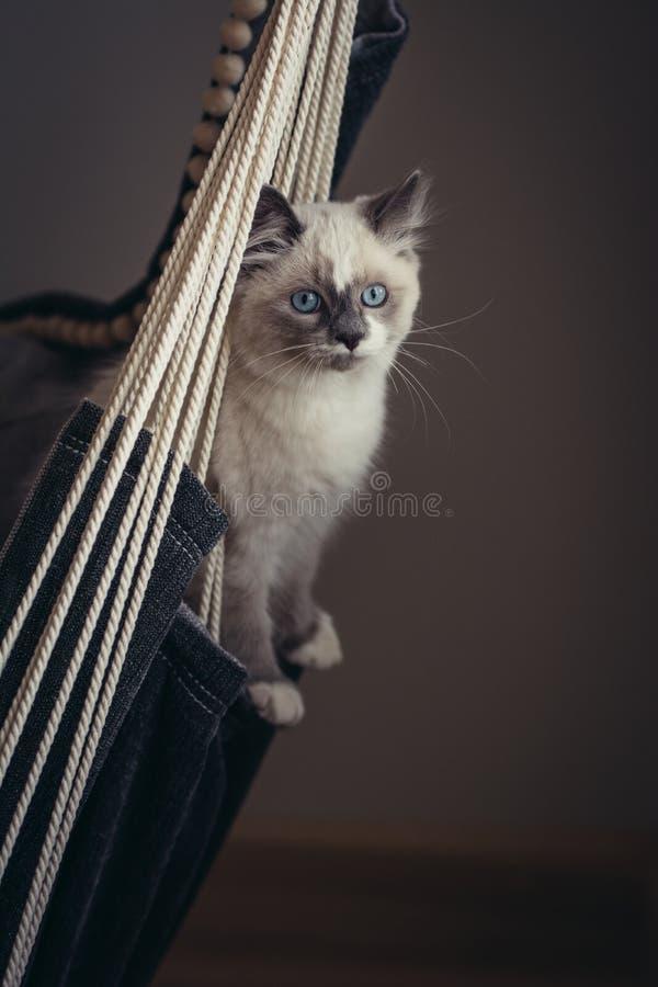 Ragdoll cat sitting royalty free stock photo