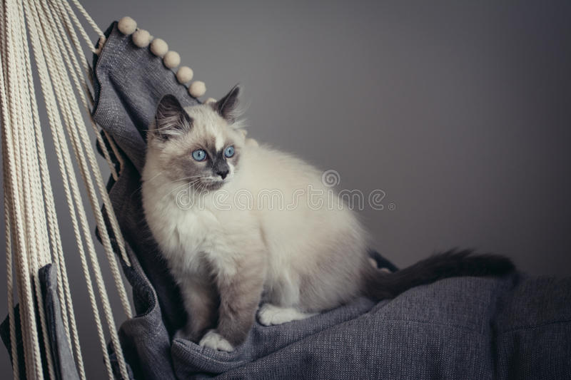 Ragdoll cat sitting royalty free stock images