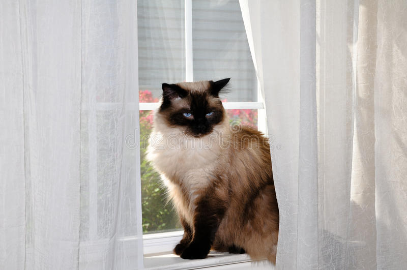 Ragdoll cat sitting in window. stock images