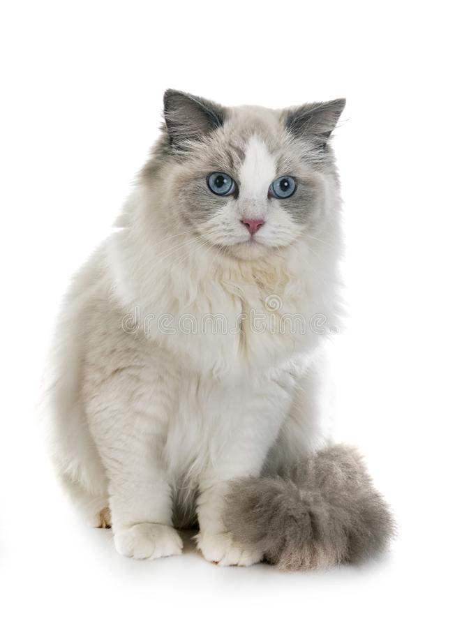 Ragdoll cat in studio. Ragdoll cat in front of white background stock photo