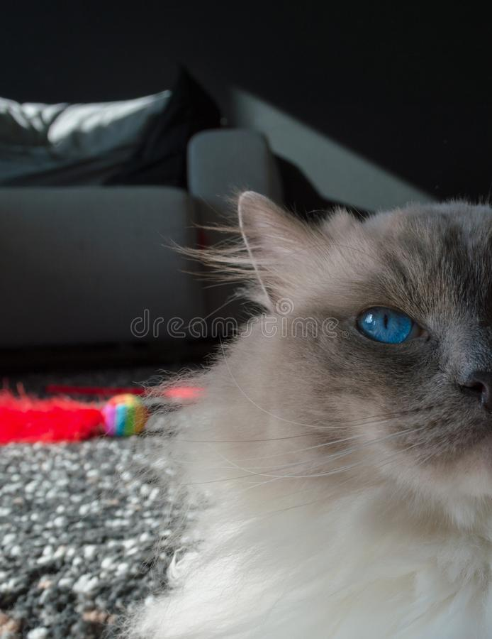 Ragdoll cat with cat toy behind it royalty free stock images