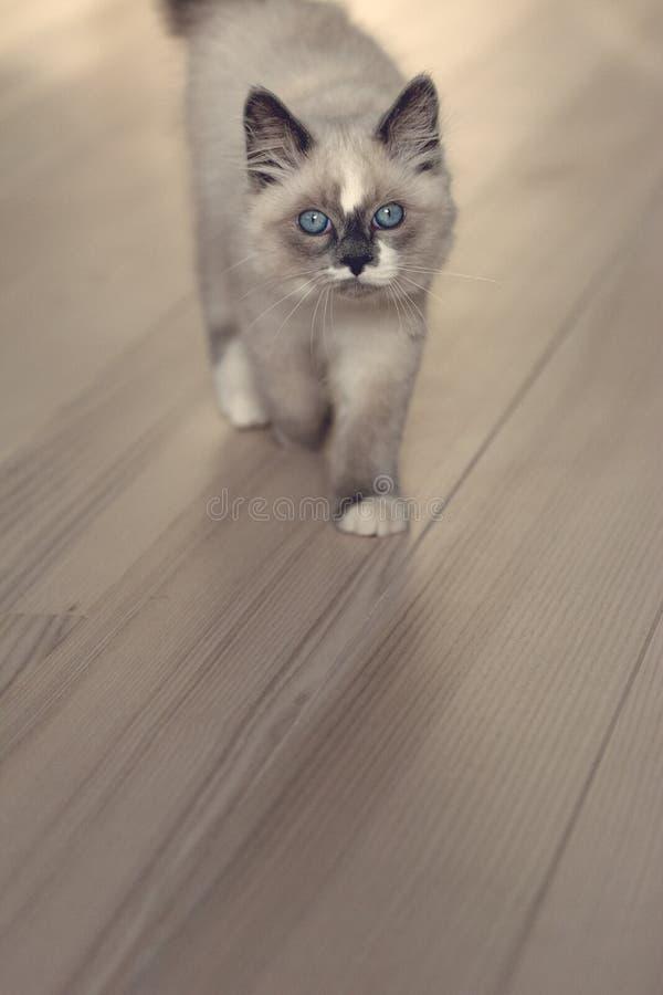 Ragdoll cat walking towards you royalty free stock image