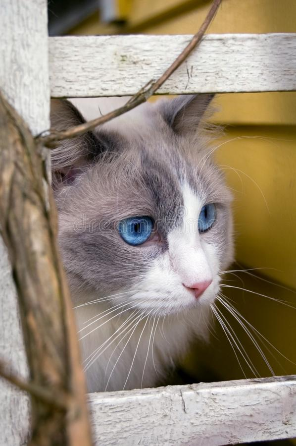 Ragdoll Cat watching something at a distance royalty free stock image