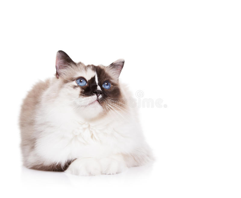 Ragdoll Cat on White. Beautiful blue eyed, tortie ragdoll cat laying down on a white background. Copy Space for your text royalty free stock photo